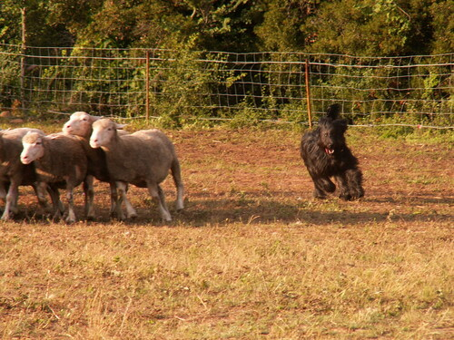 Mes copains les moutons+CANT 13 Juillet 2008 a Esclauzels