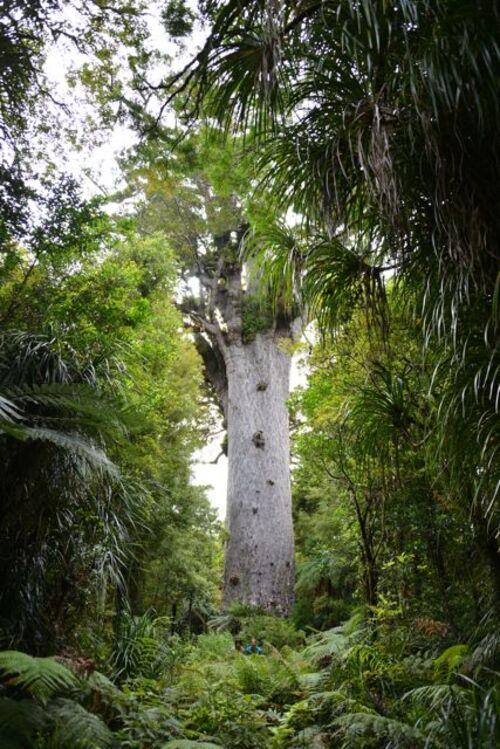 13 janvier, J19 : de la forêt de Kauris à Auckland