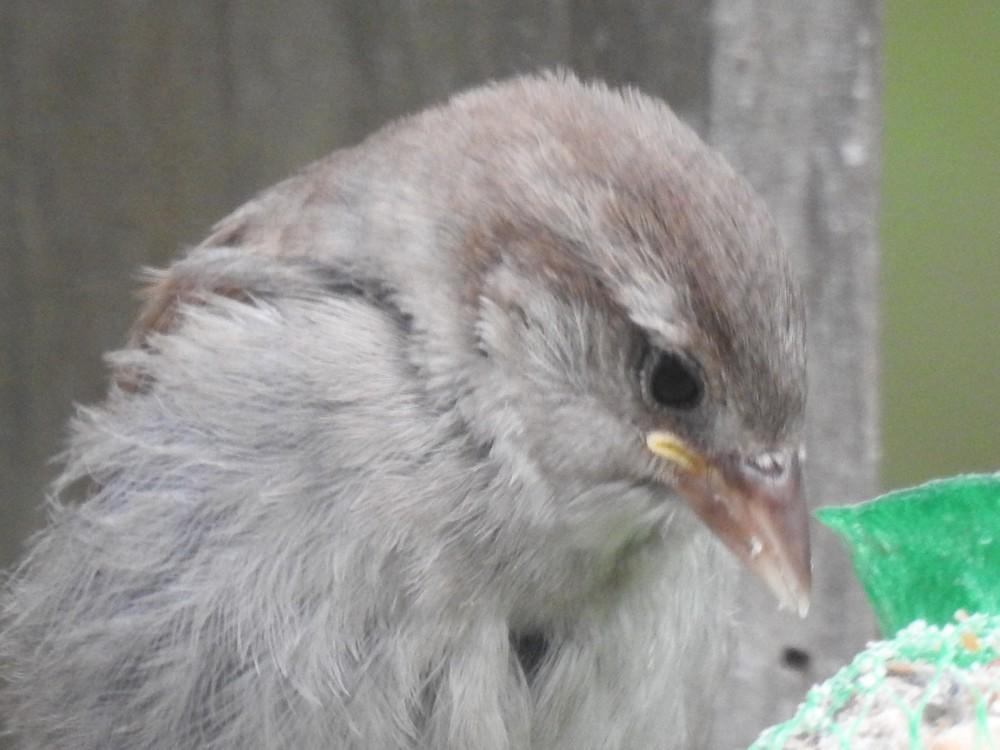 Les oiseaux de mon jardin : les moineaux...