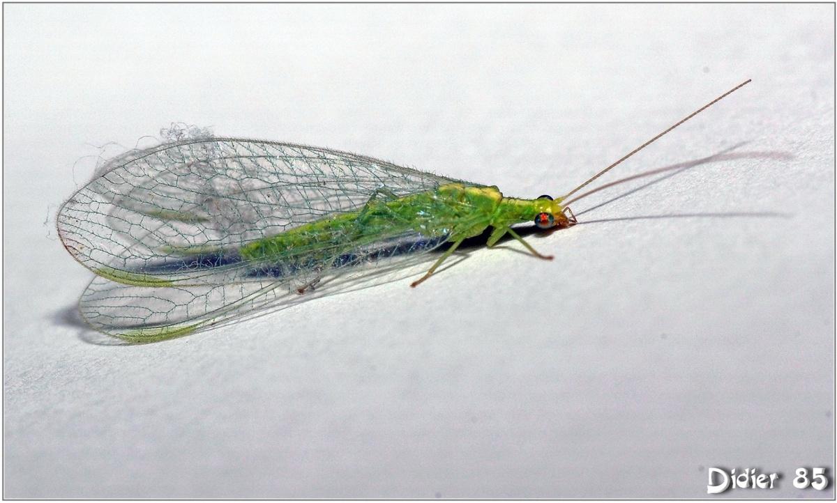 Chrysope Verte (1) - Demoiselle aux yeux d'or / Chrysoperia carnea