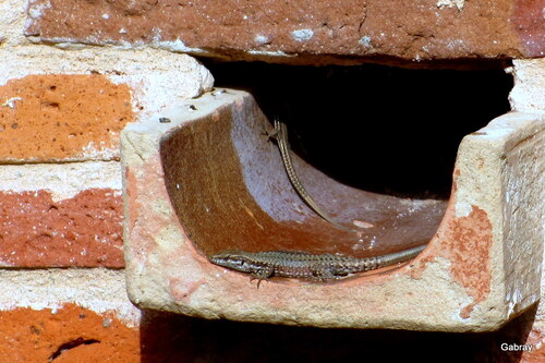 Le mur et les lézards ...