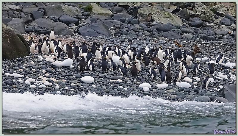 Et les petites merveilles des lieux : les Gorfous dorés, Macaroni Penguin (Eudyptes chrysolophus) - Cooper Bay - Géorgie du Sud