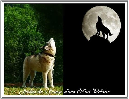 Le Husky est-il croisé avec un loup ?