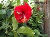 hibiscus réduit