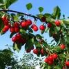 Fruitiers pollinisateurs