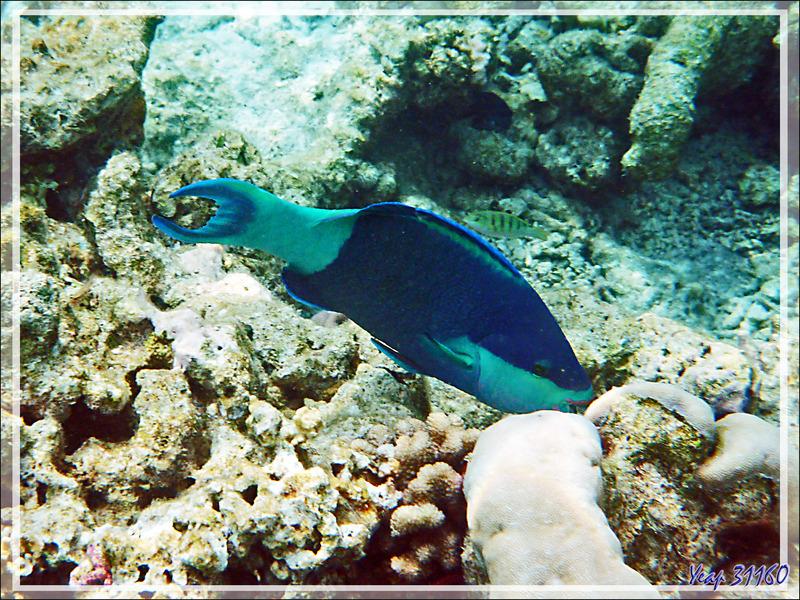 Perroquet à six bandes, Perroquet feuille-morte, Bridled parrotfish (Scarus frenatus) - Moofushi - Atoll d'Ari - Maldives