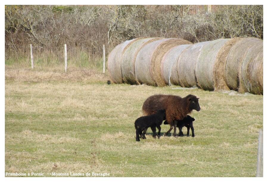 Moutons Noirs Landes de Bretagne