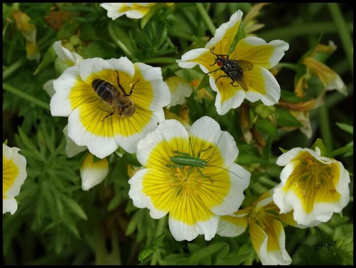 Tettigonia viridissima.