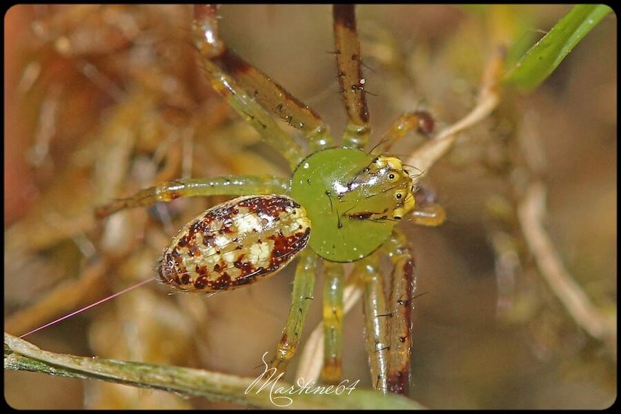 Araignée : Diaea dorsata