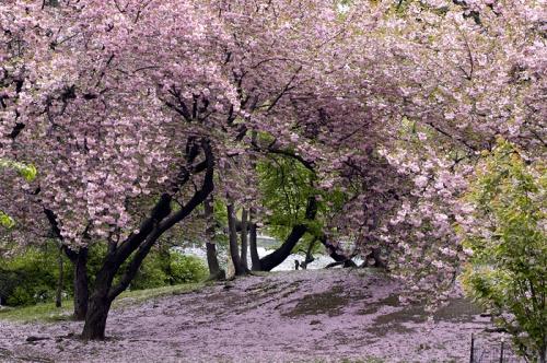 Fleurs de cerisier.