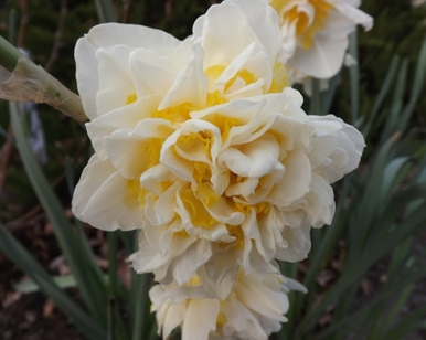 photos: Narcisses 23 03 2015