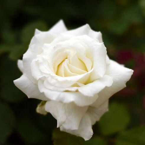 Rose Jean Paul II