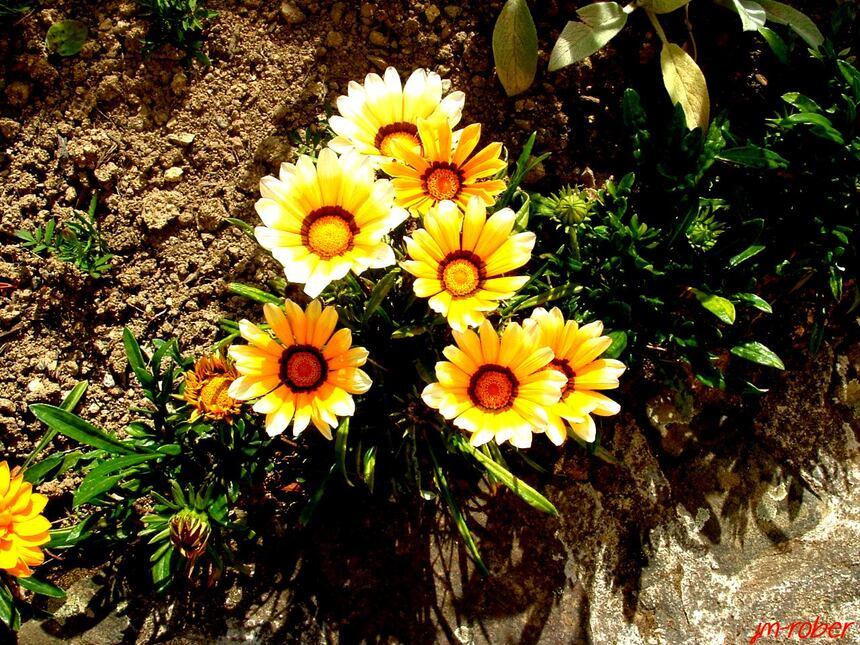 Quelques fleurs de mon jardin pour week-end de Pentecôte
