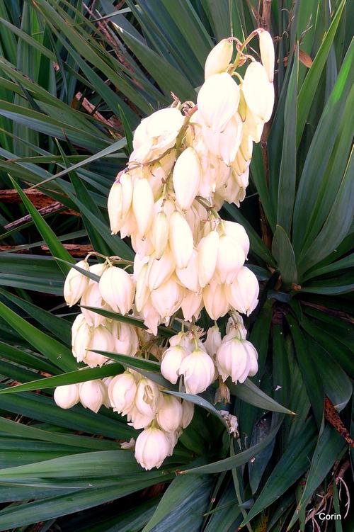 Le yucca en fleur !