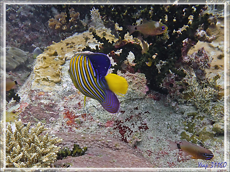 Le corail Tubastrée verte, les Demoiselles régal (Neopomacentrus cyanomos), Poisson-ange royal, Apogons à stries oranges etc. et beaucoup de matières en suspension - Beangovo - Nosy Mitsio, Madagascar