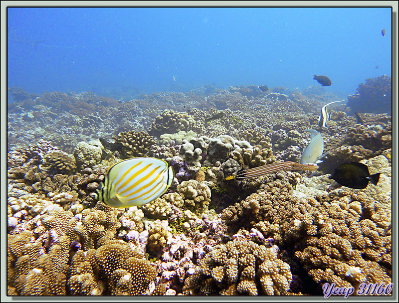 Plongée bouteille Passe Tumakohua : poisson-papillon orné accompagné d'un poisson trompette, d'un zancle cornu, d'un poisson-perroquet et d'un poisson-chirurgien - Fakarava - Polynésie
