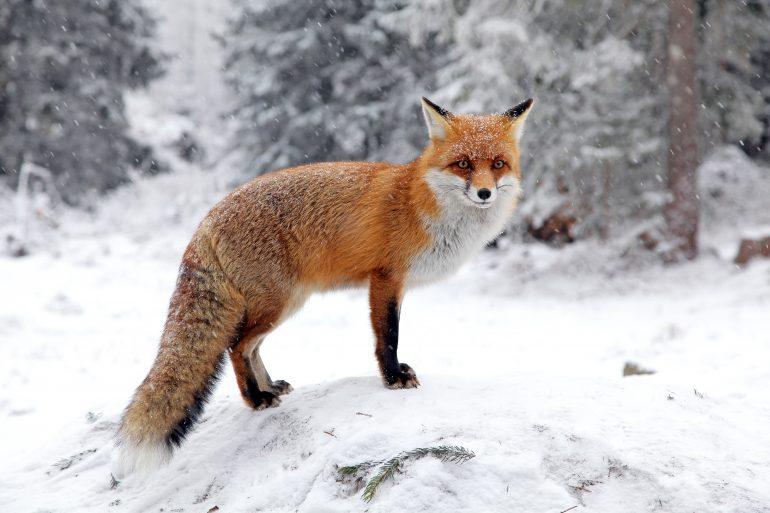 Le renard a-t-il des prédateurs ? Alexandre, 10 ans - Images Doc