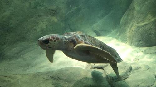 Cherbourg. La tortue, nouvelle ambassadrice de la Cité de la mer