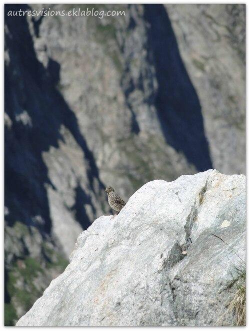 Un Accenteur alpin