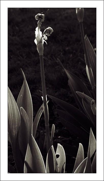 Droit-comme-un-I.iris en noir et blanc.jpg