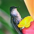 Femelle du colibri huppé - Photo : Edgar