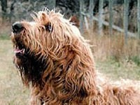 otterhound3