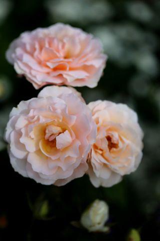 Les Roses de Warren : Anastasie