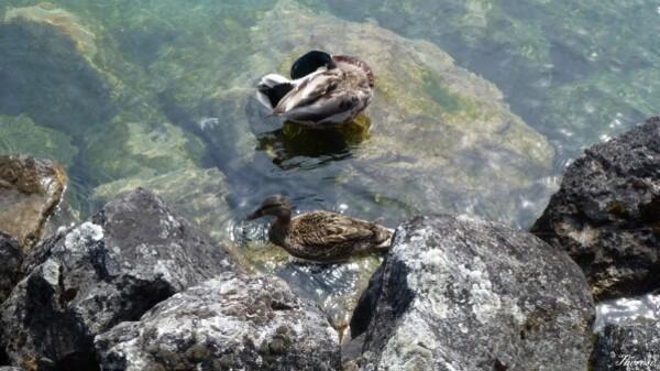 Yvoire, faune et flore lac léman (21)
