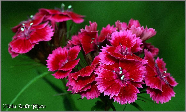 Oeillet / Dianthus