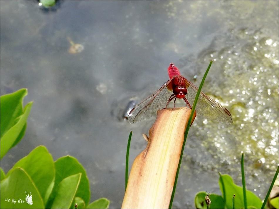 Sympetrum Rouge-Sang  ♂ (Sympetrum sanguineum)  ...