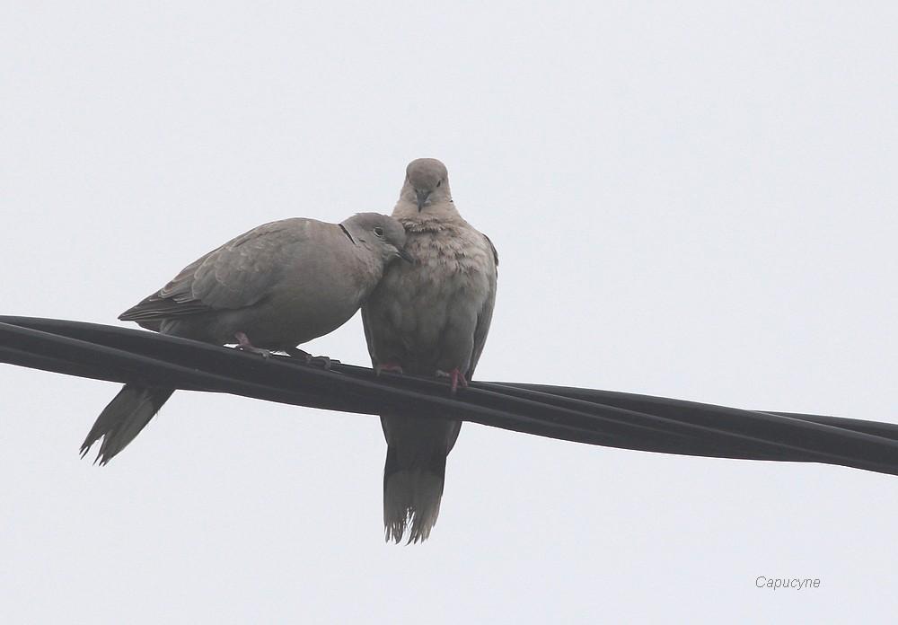 Deux tourterelles s'aimaient d'amour tendre