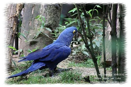 01 perroquet bleu 2