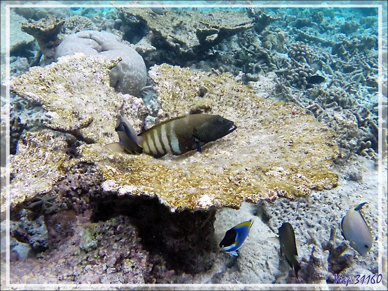 Interro écrite : donnez-moi les noms des 6 différents poissons autour de ce corail tabulaire (mort malheureusement) - Moofushi - Atoll d'Ari - Maldives