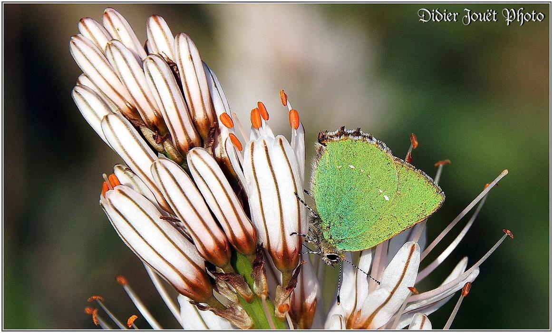 Argus Vert / Callophrys rubi