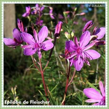Epilobe de Fleischer-Epilobe des moraines-Epilobium fleischeri
