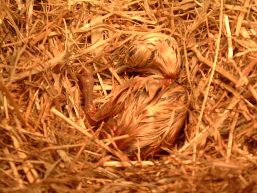 Mon premier petit poussin Loulou, un petit coq.....