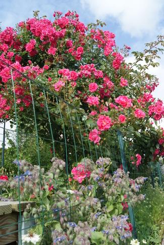 Rosier grimpant rose bengale ' Gite de France ' de Meilland : l'apothéose de la floraison.