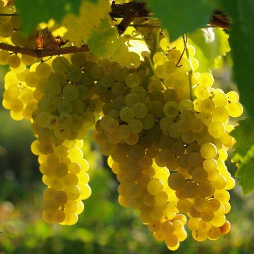 Quel raisin pour l'armagnac ?