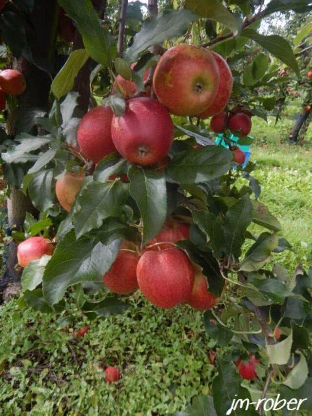 Cueillir soi-même son fruit avec la vente directe du Producteur au Consommateur