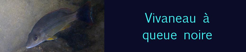 vivaneau à queue noire