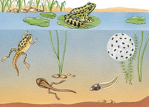 Je vous explique... les amphibiens