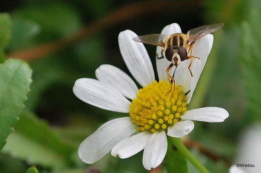 l'Hélophile à bandes grises  (Helophilus trivittatus)  Syrphidae