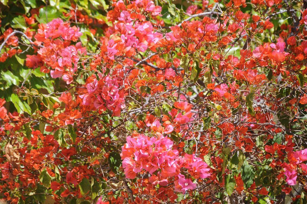 Les quelques fleurs rencontrées sur l'île de Porquerolles !