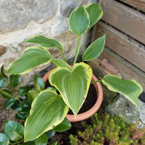hosta-yellow-river.jpg