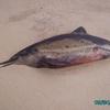 Figueira da Foz  - un dauphin (2)