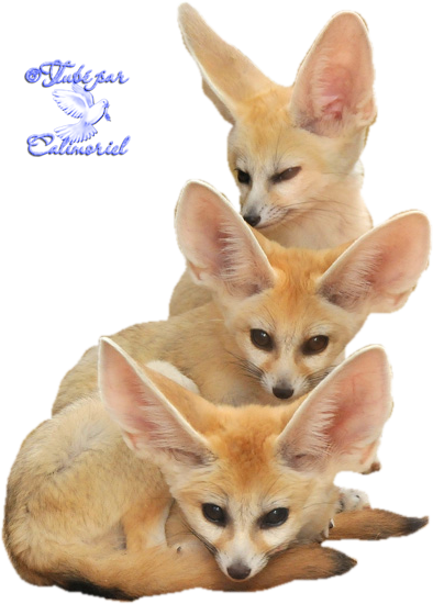 Tubes-Animaux-fennec3