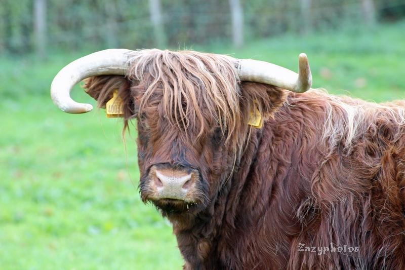 Corne d'auroch