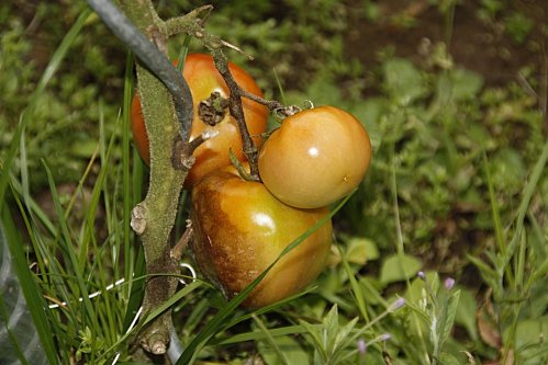 tomates-005.JPG