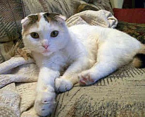 scottish-fold-0017