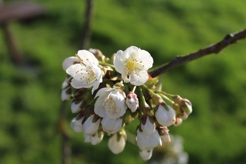 Le cerisier est en fleurs
